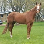 My Right Horse Adoptable Horse - Cinnamon