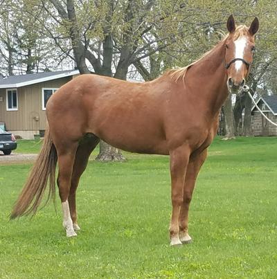 My Right Horse Adoptable Horse - Cinnamon