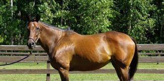 My Right Horse Adoptable Horse - Cool Belle