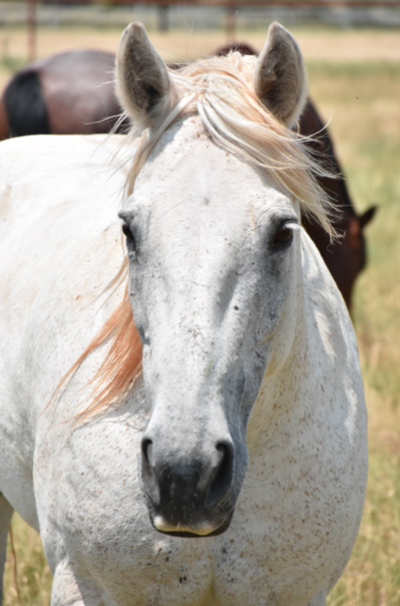 My Right Horse Adoptable Horse of the Week - Geneve