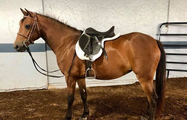 Adoptable Horse - Lil' Bit