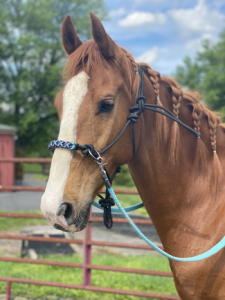 My Right Horse Adoptable Horse of the Week - Mosby