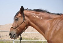 My Right Horse Adoptable Horse of the Week - Nevada