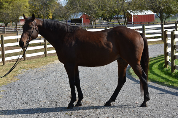My Right Horse Adoptable Horse of the Week - No Alibi