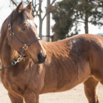 My Right Horse Adoptable Horse of the Week - Oakalita Laurie