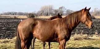 My Right Horse Adoptable Horse of the Week - Patina