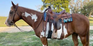 My Right Horse Adoptable Horse of the Week - Peppermint Patti