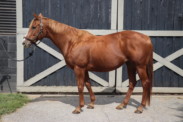 My Right Horse Adoptable Horse of the Week - Salted Cloud