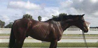 My Right Horse Adoptable Horse - Swagger Jagger