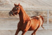 Adoptable Horse of the Week - TC Bluesprucebask