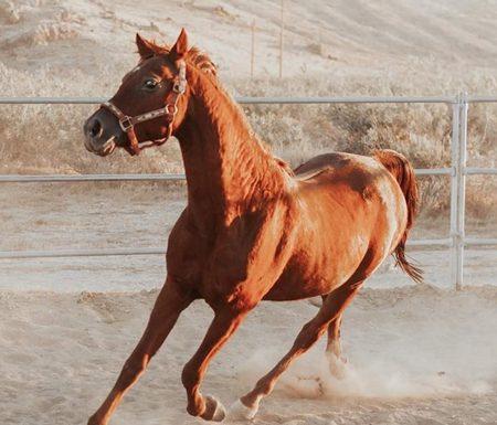 Adoptable Horse of the Week - TC Bluesprucebask
