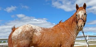 My Right Horse Adoptable Horse of the Week - Velma