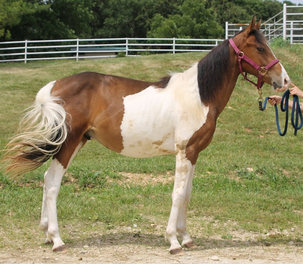 My Right Horse Adoptable Horse of the Week - Bronson