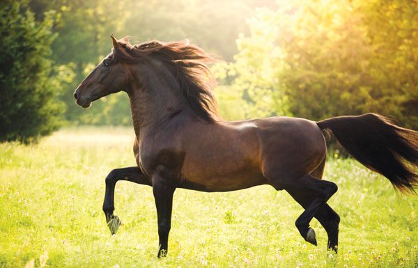 Andalusian horse in field.