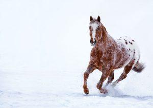 Appaloosa horse in snow.