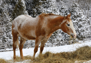 Appaloosa eating hay in winter