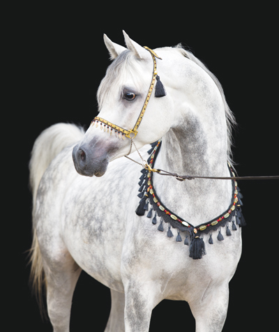 Breed - Arabian Horse