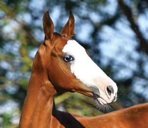 Bald Face - Horse Markings