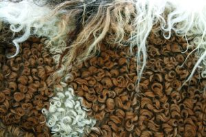 Close-up of Bashkir Curly hair.