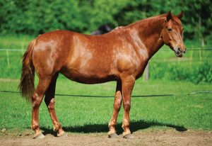 Wide Stocky Horse