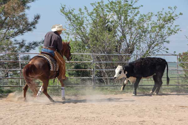 Reined cow horse - cattle work