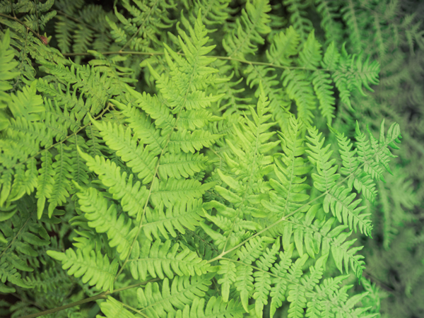 Bracken Fern - What Plants are Topic to Horses?