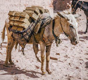 Brooke USA - Donkey in India