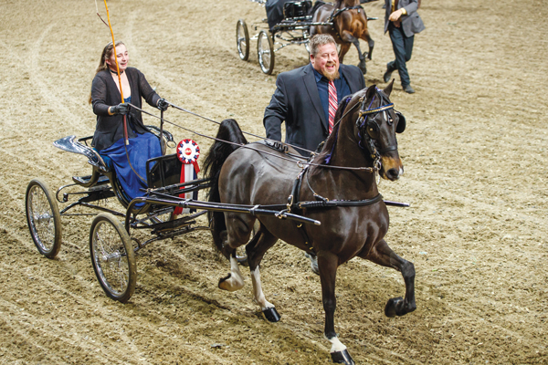 Roadsters, harness ponies and Hackney classes