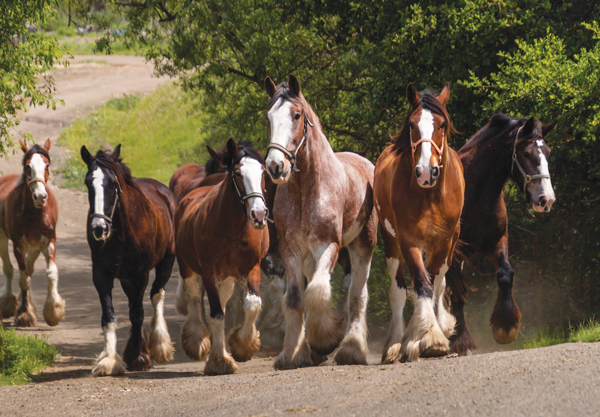 Covell Clydesdales