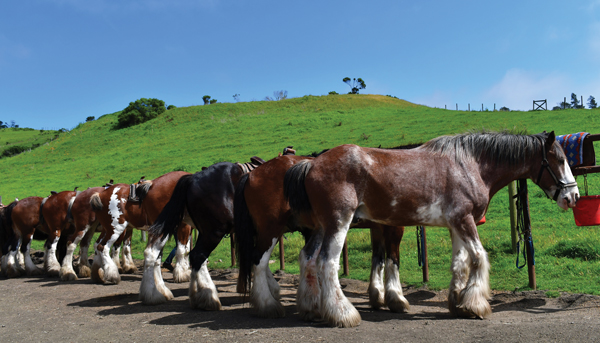 Clydesdales in California