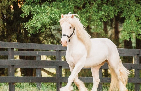 American Cream Draft Horse
