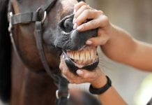 horse age by teeth