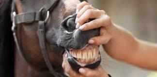 horse age by teeth