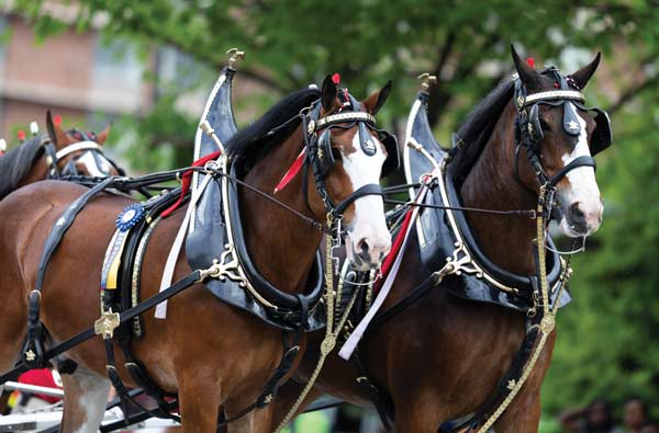 Clydesdale Draft Horse - Breeds profile