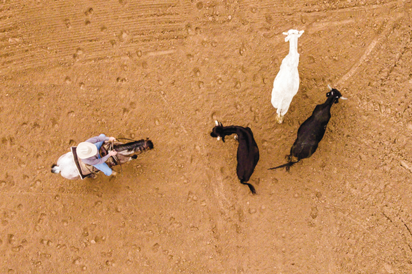 Sorting Cattle - Photo from Above