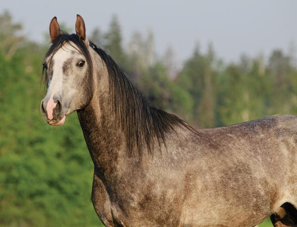 Gray Arabian Horse - Horse Ears