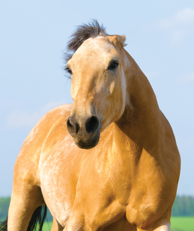 Horse Ears Pinned Back Position