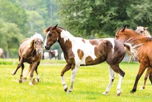 Fighting Horses - Horse Squeal