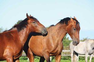 Pinned Horse Ears