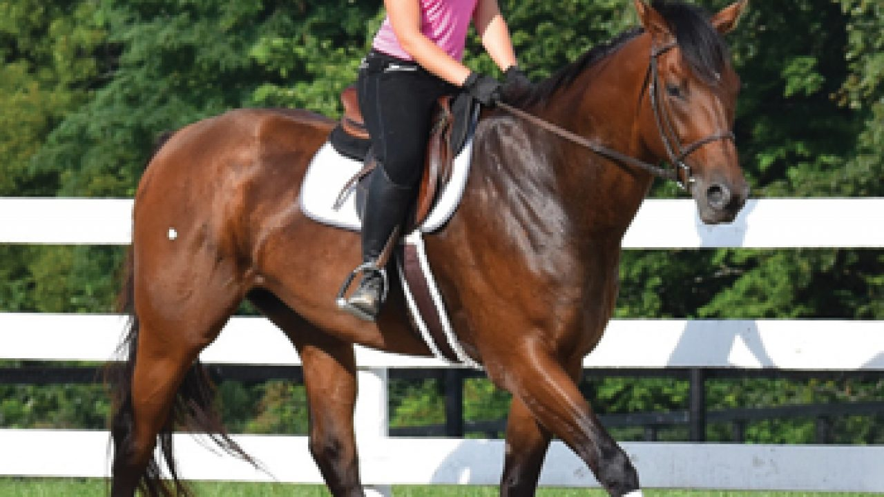 Retraining The Thoroughbred From Racehorse To Riding Horse
