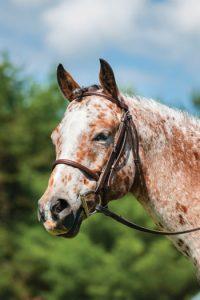Pony of the Americas close up.