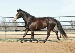 Free Exercise of a Senior Horse in a Roundpen