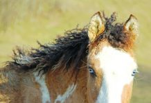 Close up of Bashkir curly horse.