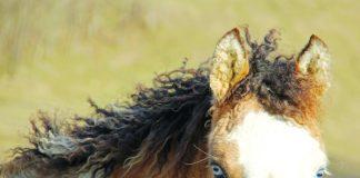 Close up of Bashkir curly horse.