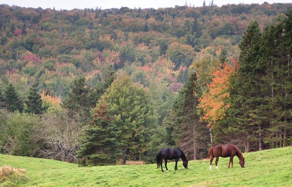 Horses during Autumn, or Fall