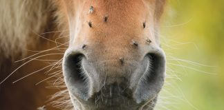 Horse has flies on nose