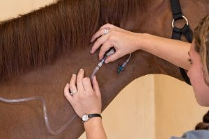 Equine Coronavirus might need supportive care