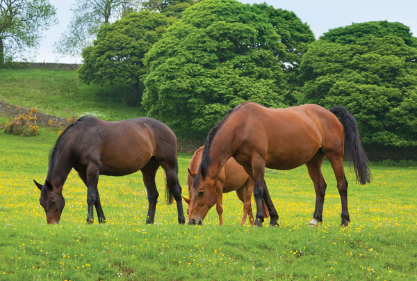 Grazing Horses - Horse Spring Nutrition