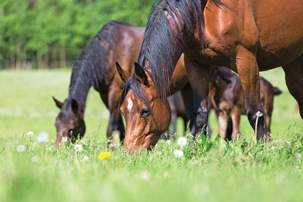 Rules to Feed Horse By - Grazing Horses