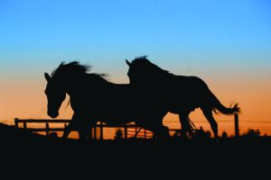 Horses running in pasture at sunset.